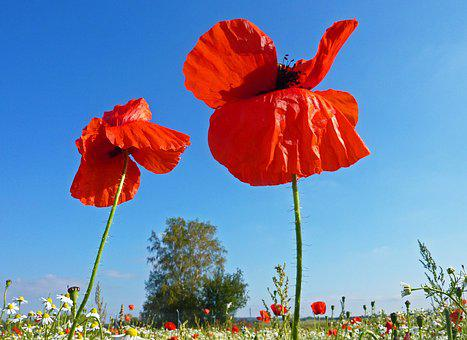 Poppies, Nature, Red, Flower, Fields, Wild Flower