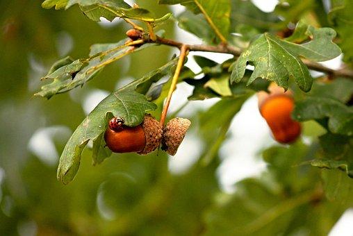 Acorns, Acorn, Oak Leaves, Ladybug, Insect, Spotted