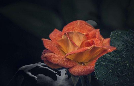 Double Exposure, Art, Rose, Background, Orange