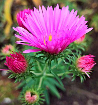Asters, Herbstastern, Flowers, Shrub, Ornamental Plant