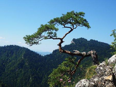 Sokolica, Pieniny, Mountains, Landscape, Pine, Tree