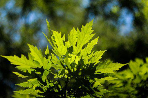 Maple Leaf, Summer, Natural, Green, Scenery, Plant, Pm