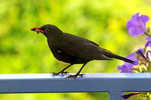 Summer, Balcony, Terrace, Bird, Blackbird, Closeup