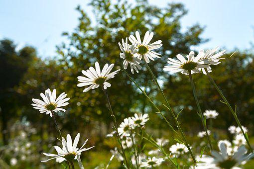Gujeolcho, Their Mums, Cosmos, Plants, Flowers, Nature
