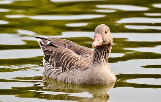 Wild Goose, Goose, Bird, Water Bird, Poultry, Swim