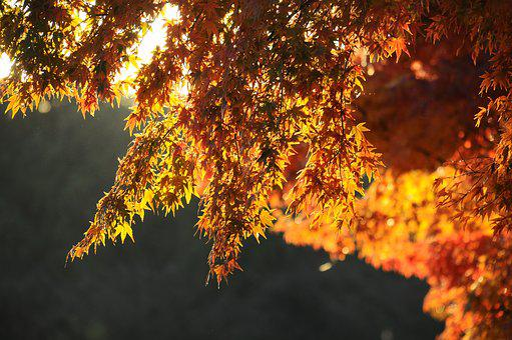 Autumnal Leaves, Maple, Morning, Autumn
