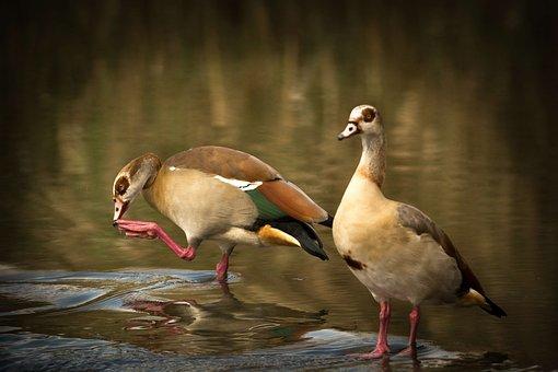Egyptian Goose, Couple, Eye, Avian, Goose, Bird, River