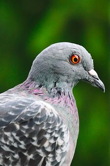 Pigeon, Bird, Feather, Red, Eye