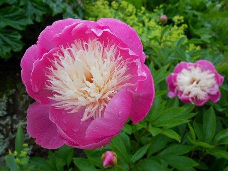 Flower, Pink, Purple, English, Garden, Floral, Spring