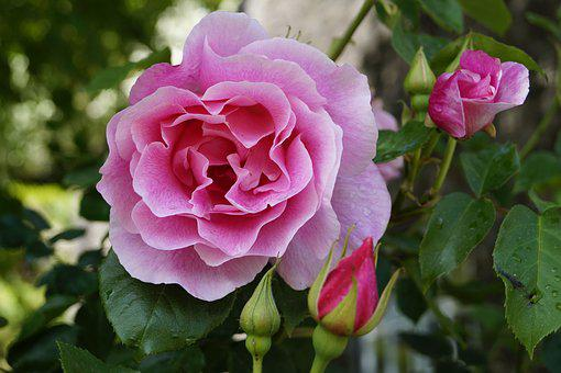 Rose, Blossom, Bloom, Pink, Close, Bud, English Rose