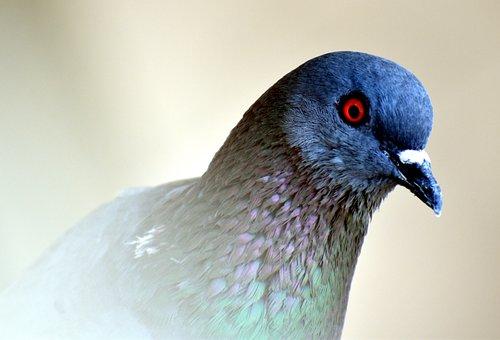 Feral Pigeon, Eye, Orange Eye, Curious, Bird