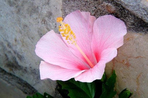 Flower, Cliff, Cotton Fight, Pink