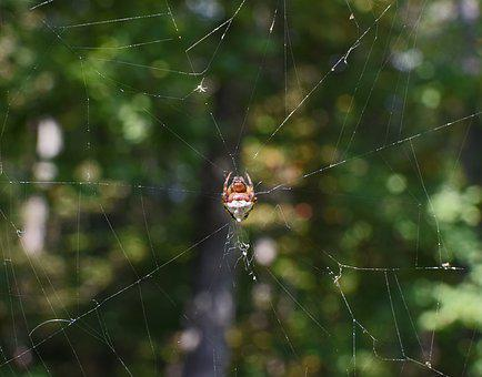 Jumping Spider In Web, Abdomen, Spider, Arachnid