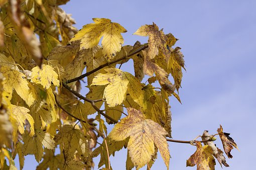 Maple, Autumn, Leaf, Yellow, Leaves, Golden Autumn