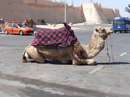 Camel, Rest, Morocco