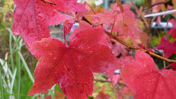 Ornamental Maple, Autumn Leaves, Red, Coloring, Garden