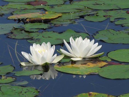 Water Lily, White, Lily Pad, Pond