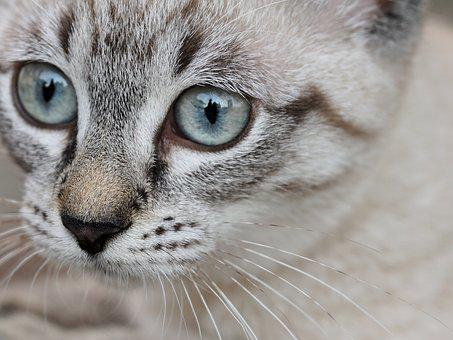 Cat, Animal, Eyes, Young Cat, Pet, Small Cat, Portrait