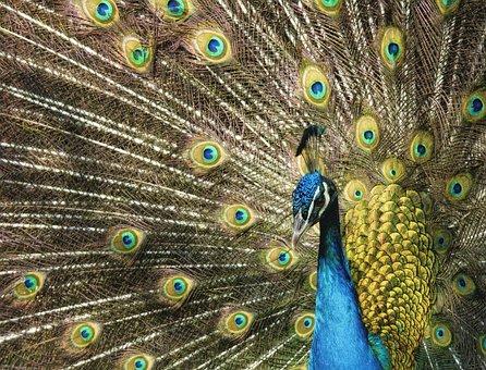 Peacock, Vanity, Plumage, Colorful, Bird, Tail, Blue