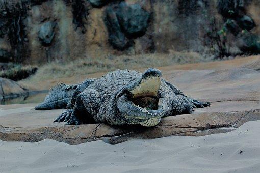 Memphis, Zoo, Alligator, Animal, Wildlife, Mammal, Wild