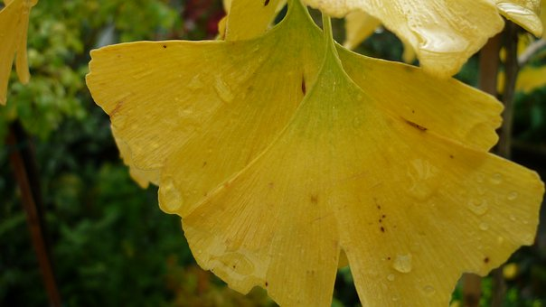 Gingko, Leaves, Fall Color, Yellow, Tree