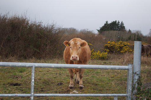 Cow, Wildlife, Animal, Farm, Cattle