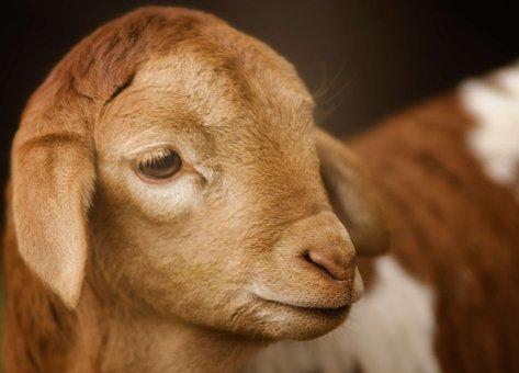 Goat, Kid, Cute, Close, Eye, Young, Farm, Mammal, Baby