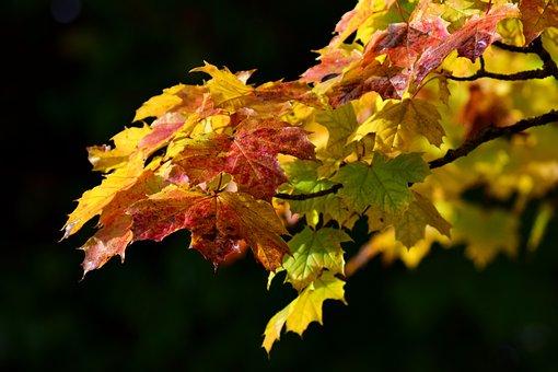 Maple, Leaves, Autumn, Maple Leaves, Colorful