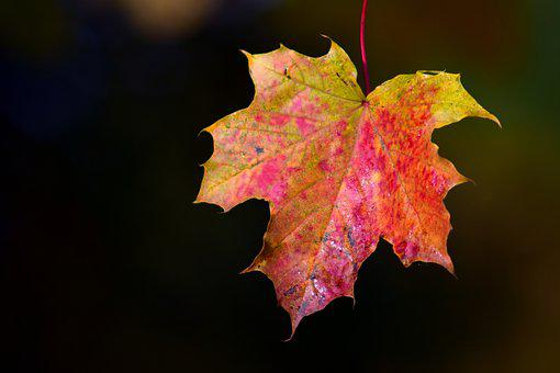 Maple, Leaves, Autumn, Maple Leaf, Colorful