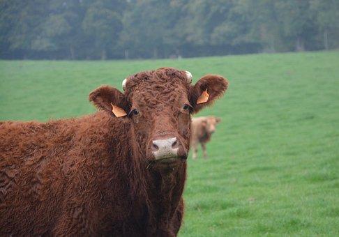 Cow, Portrait, Head, Mammal Domestic, Animal, Nature