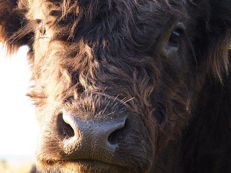 Beef, Cow, Highland Beef, Pasture, Summer, Animal