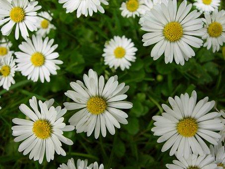 Daisy, Flower, England, Nature, Spring, Plant, Summer