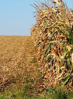 Cornfield, Agriculture, Corn, Field, Nature, Food