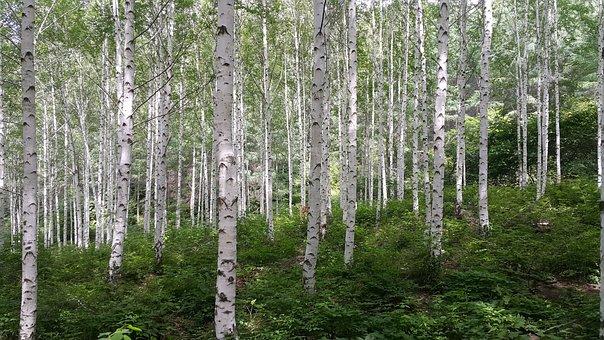 Birch, Forest, Spring, Nature