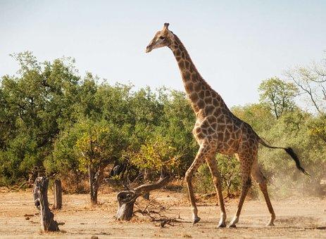 Giraffe, Running, Africa, Wild, Wildlife, Mammal, Funny