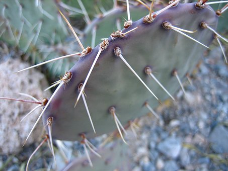 Cactus, Thorns, Green, Nature, Desert, Succulent