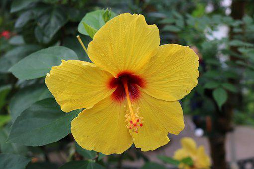 Hibiscus, Red, Orange, Yellow, Flower, Tropical