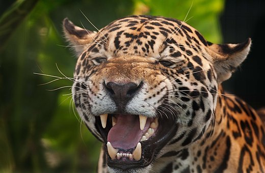 Jaguar, Panthera Onca, Spots, Fierce Aggressive, Snarl