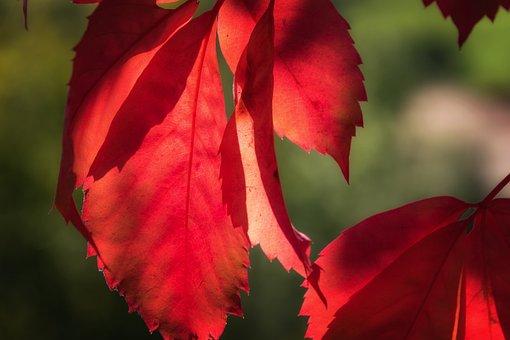 Leaf, Red, Lichtspiel, Sun, Autumn, Nature, Color