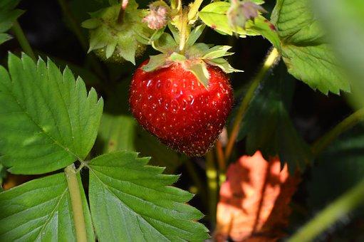 Strawberry, Morning, Berry, Nature, Summer, Still Life