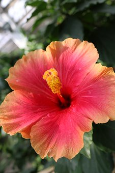Hibiscus, Red, Orange, Yellow Flower, Tropical, Blossom
