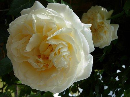 Rose, White, Pale, Cream, White Rose, Flower, Love