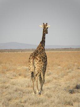 Giraffe, Namibia, Park