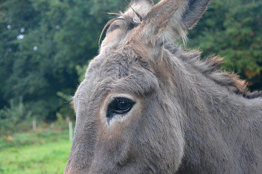 Donkey, Eye Ass, Equine, Color Grey, Robust