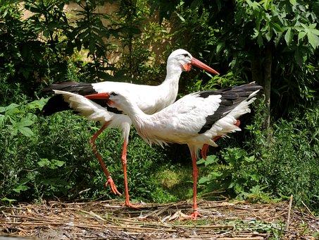 Storks, Stork Couple, Storchennest, White Stork, Birds
