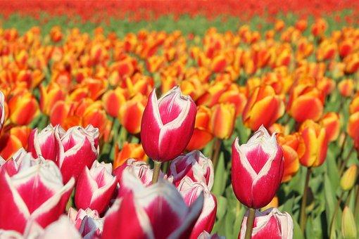Tulips, Field, Flower, Colors, Parterre, Summer