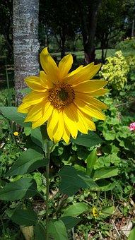 Flower, Sunflower, Sol