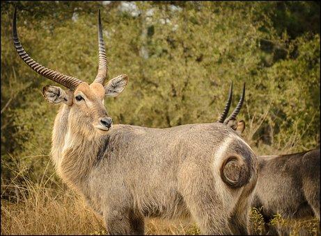 Waterbuck, Close, Curl, Tail, Horns, Detail, Eyes, Buck
