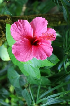 Hibiscus, Pink, Flower, Tropical, Blossom, Plant