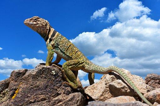 Collared Lizard, Reptile, Animal World, Nature, Search